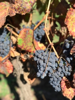 Santa Cruz - grapes