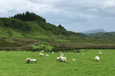 Black-faced sheep with their lambs on the Isle of Seil